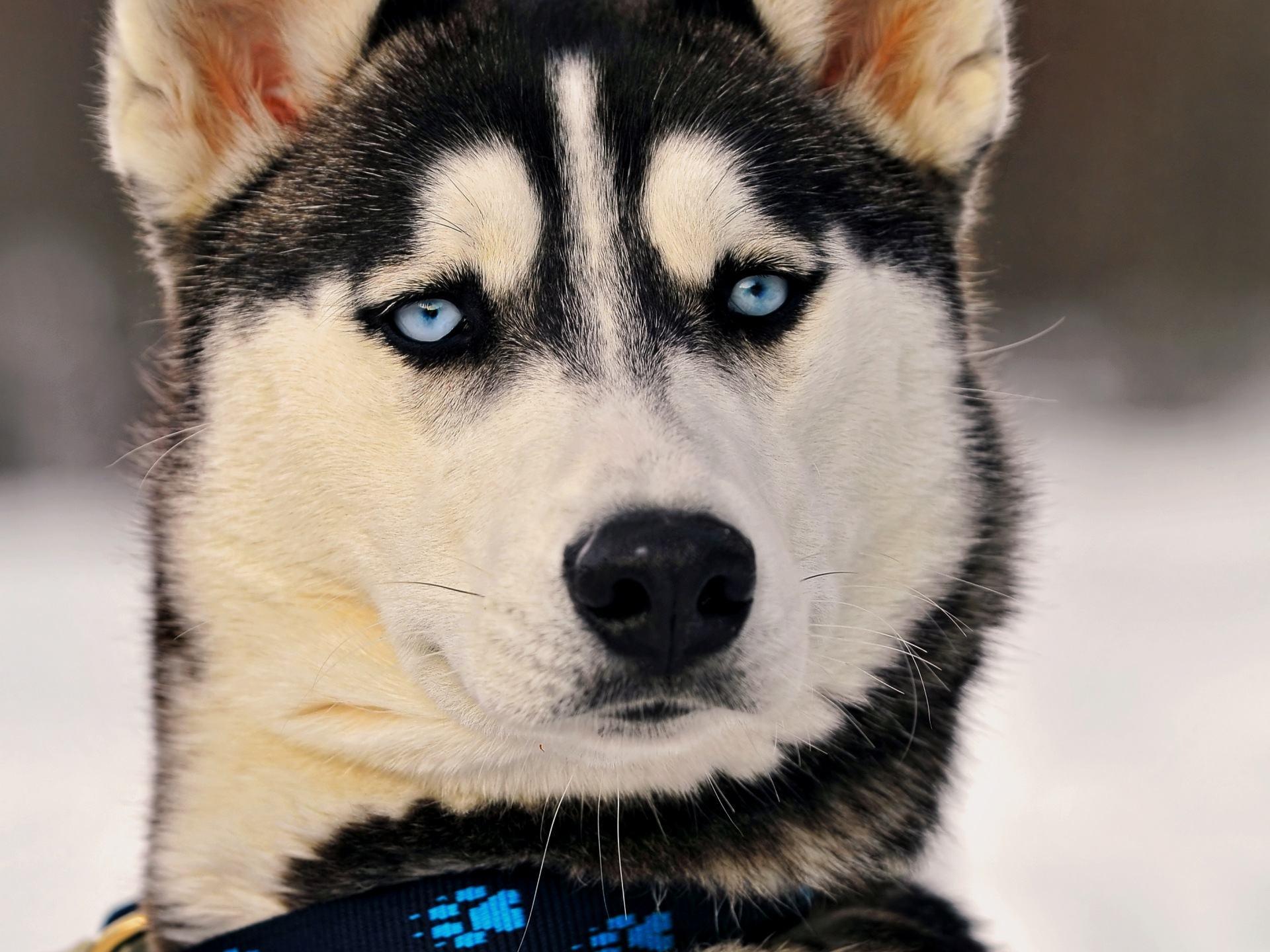 Картинки с собаками хасками