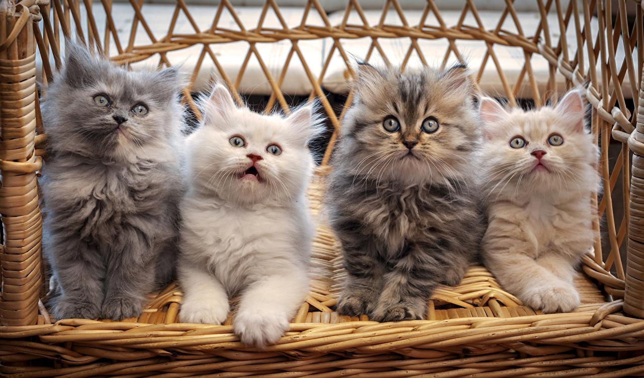 смотреть фото красивых кошек и котят пробками дооолго