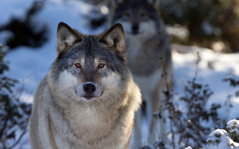 Волк волки картинки