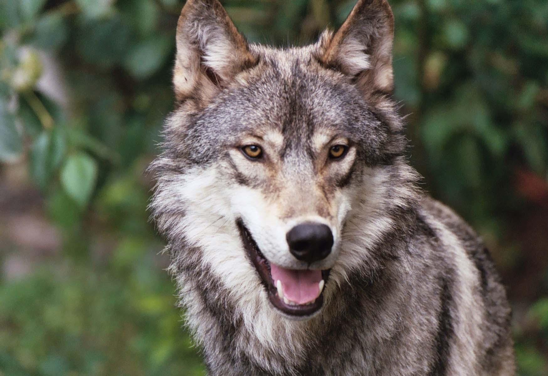 Картинки на телефон дикие волки