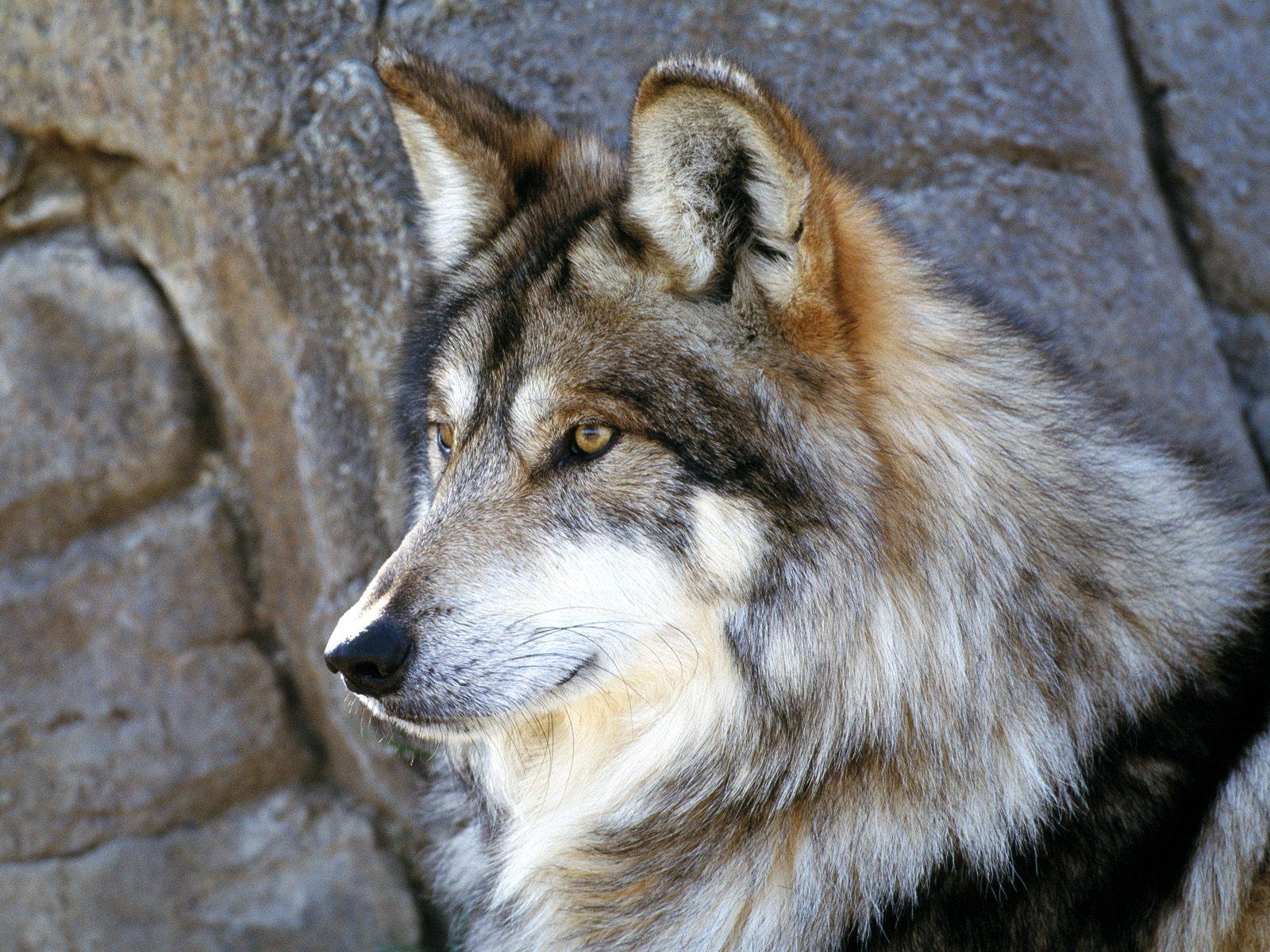 всего картинки волков самые лучшие нужны были