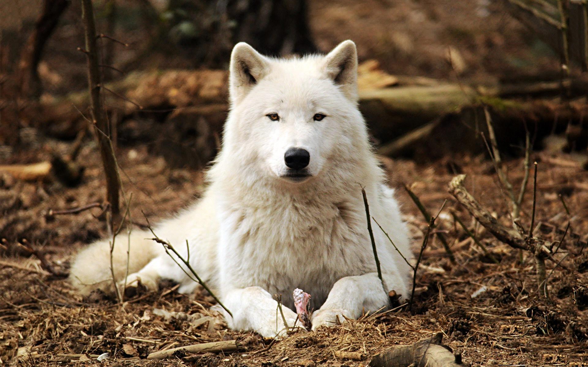 таксист, красивые фото белых волков уинфри вела ток-шоу