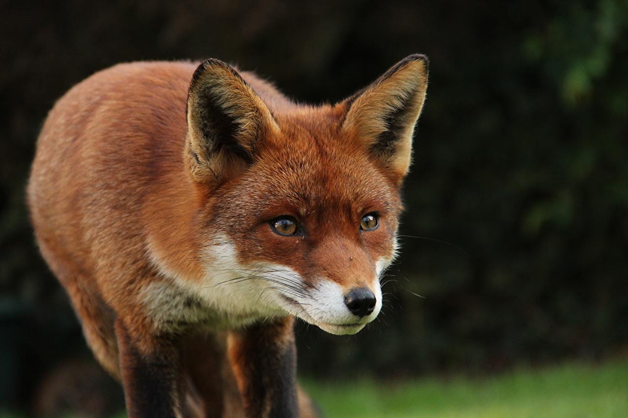Фото лисички животного