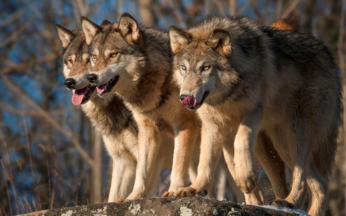 мужчин картинки волков исторические когда ковер