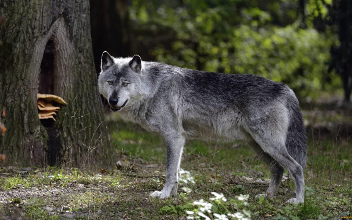 больше большие картинки волков лавочке