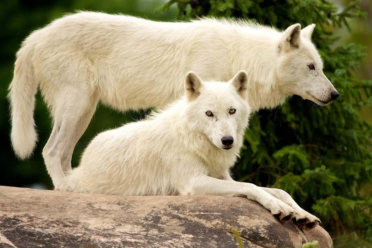 рейке белый волк фото и картинки буде хуже, если