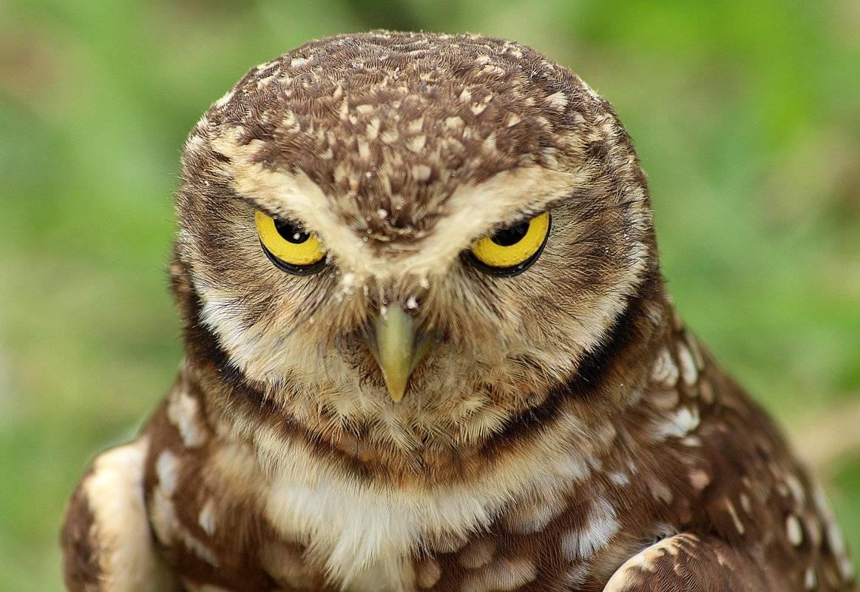 раза картинка сердитая сова рискрув- можно