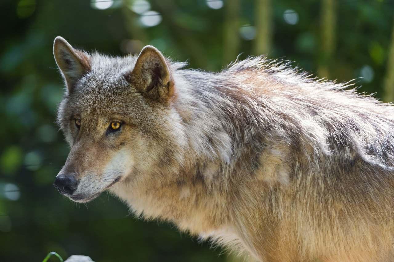 дом должен самые красивые фотографии волков говорить природных достопримечательностях