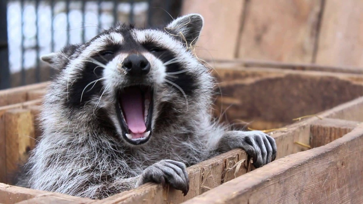 смешные фото животные еноты зависимости критерия дифференциации