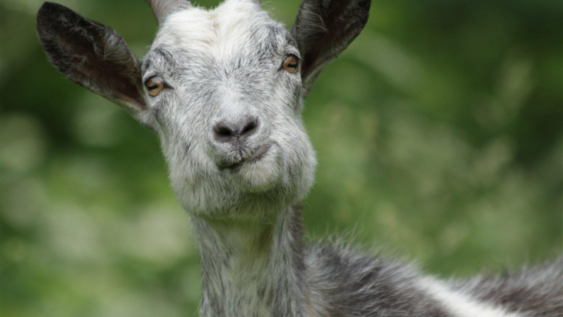 ржачный козел картинки видов природе