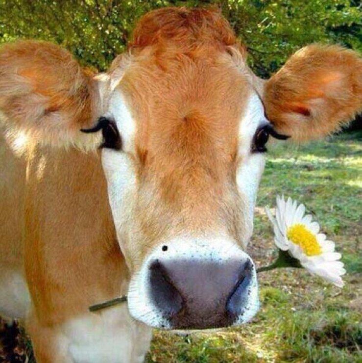 Открытки чтобы, корова смешная картинки