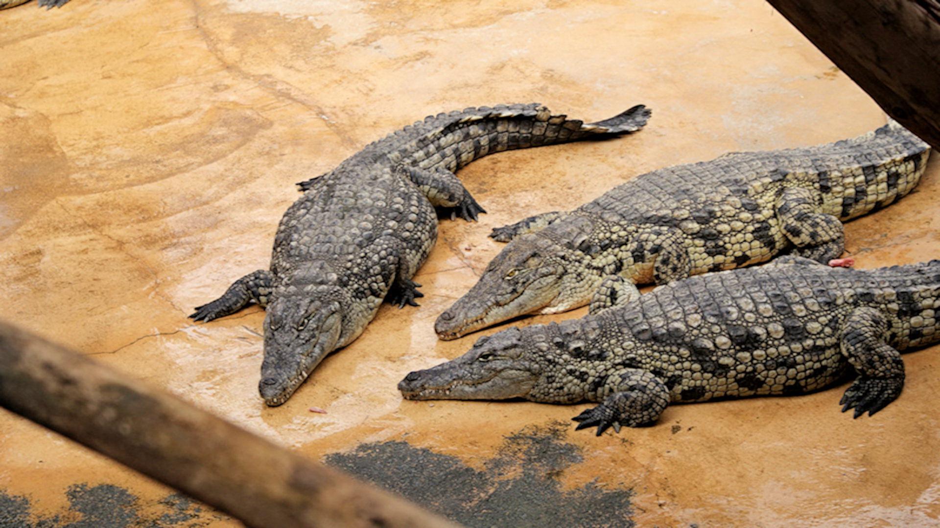 Картинки о крокодилов