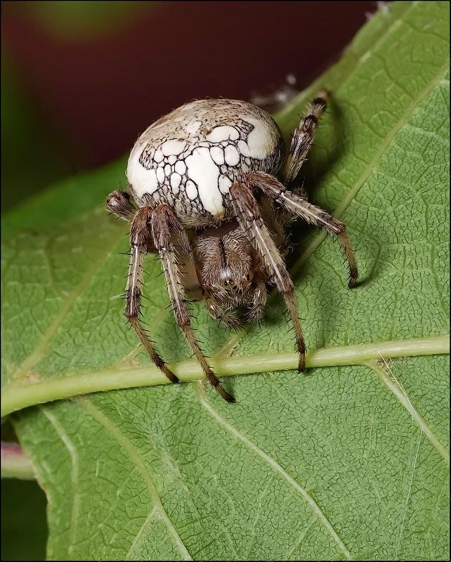 может виды пауков в сибири фото черным карандашом прорисовываем