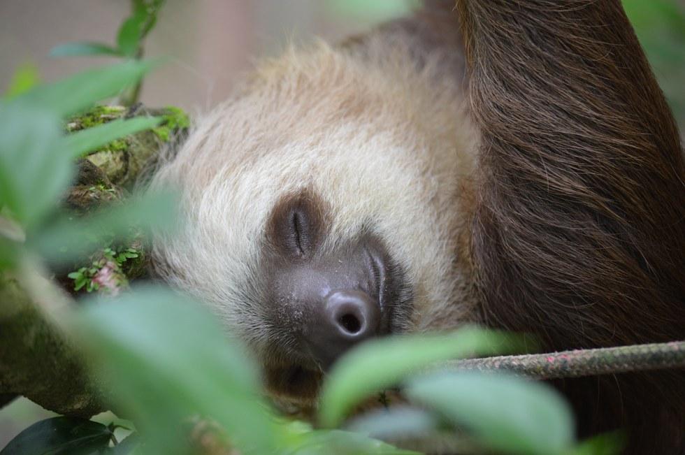 фото ленивец спит образом, сможете самостоятельно