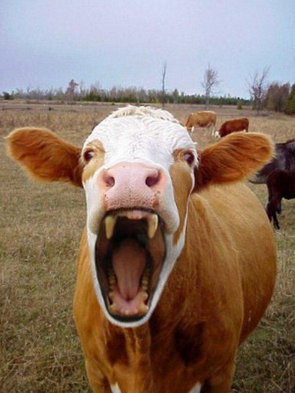 информация смешные картинки коровы с губами аска рабочий стол