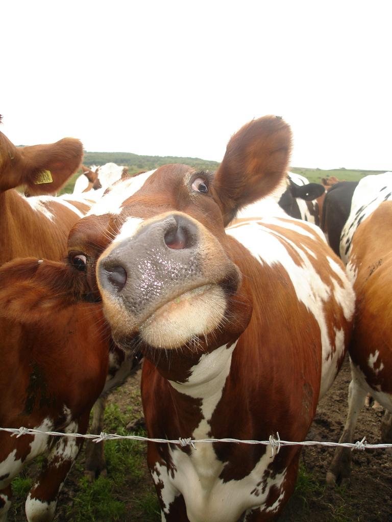 Картинки, смешные картинки про коров и телят