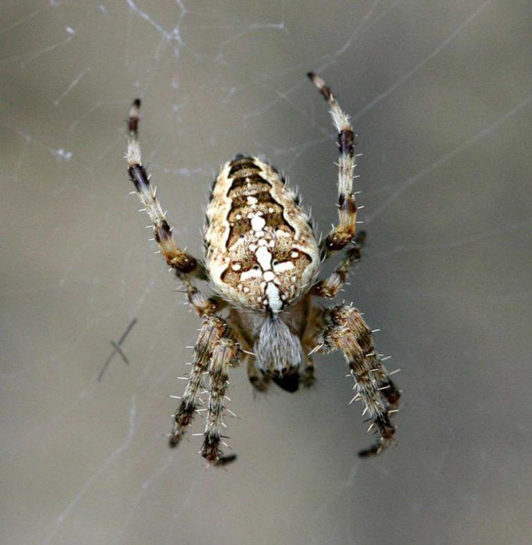 пауки дальнего востока россии фото животные