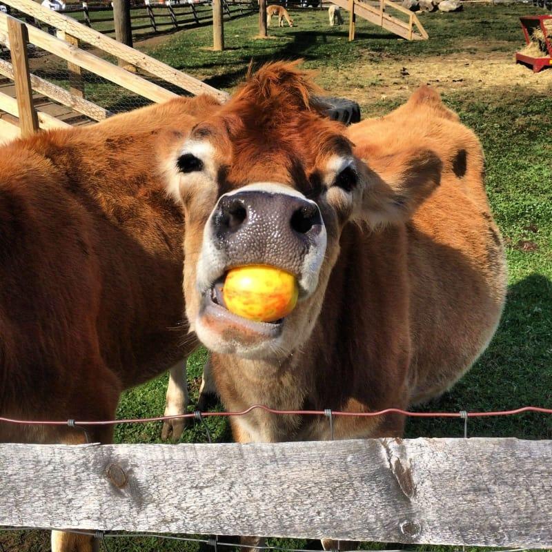 Корова картинки приколы, семья смешное