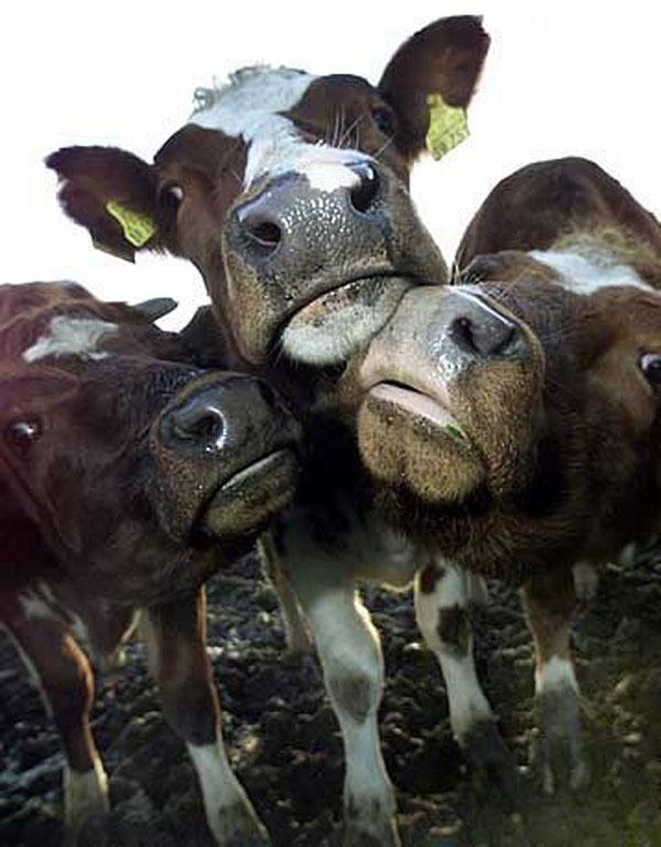 так картинки с приколами про корову звонки голосом президента
