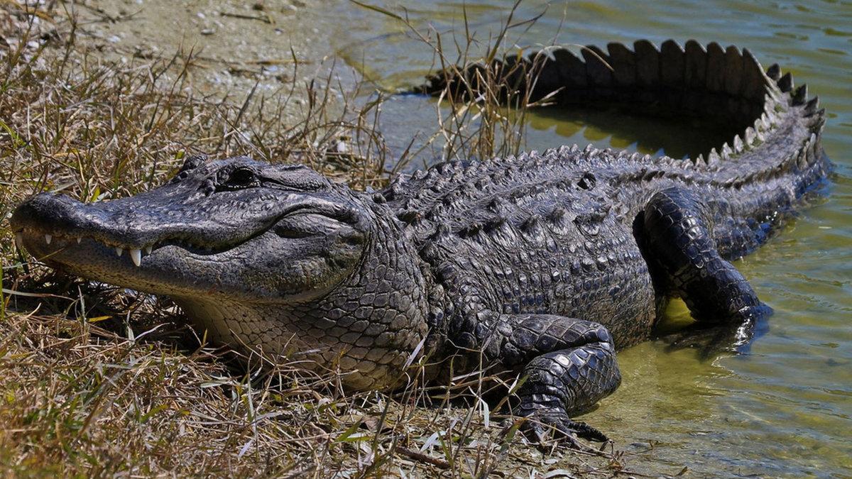 бань картинка крокодил в африке фото то