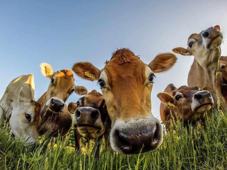 Картинка прикольные коровы
