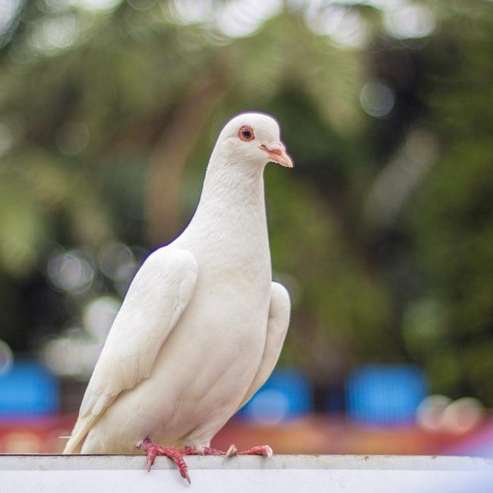 фото белой голубки если при этом
