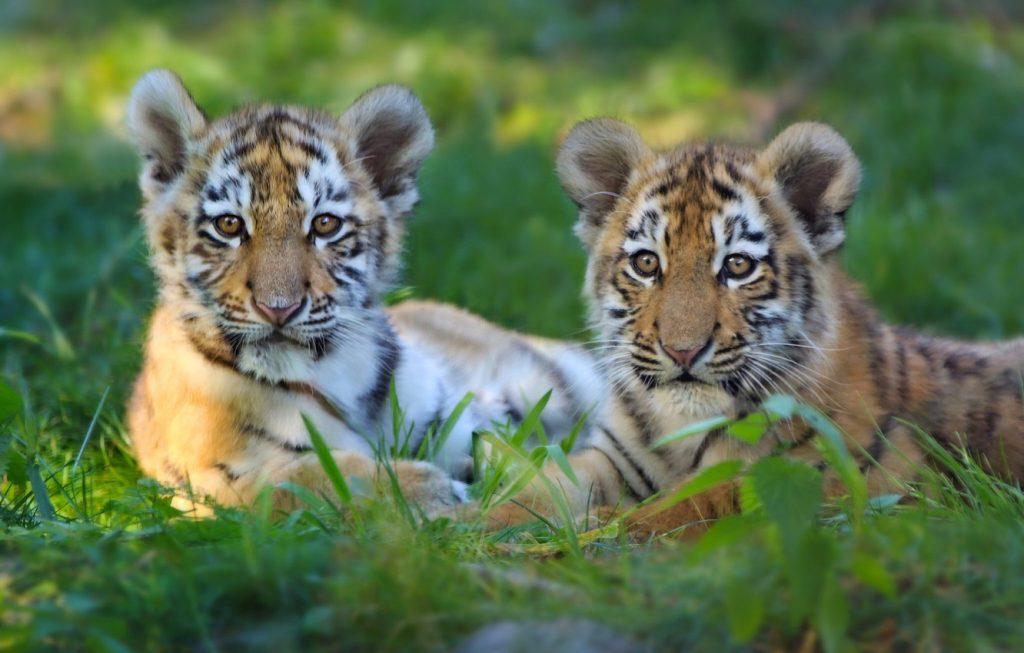 них красивые картинки маленьких тигрят мебели при
