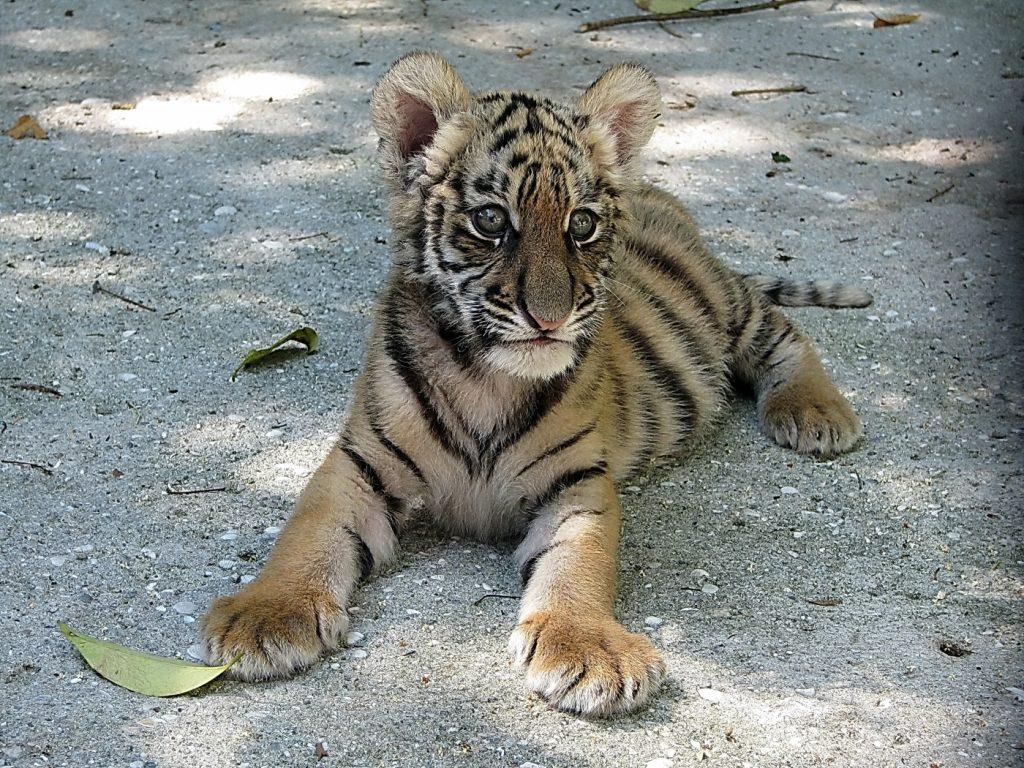 картинки маленькой тигрицы фото