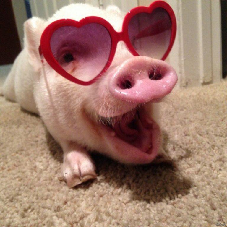 картинки свинок в очках девушки женщины используют