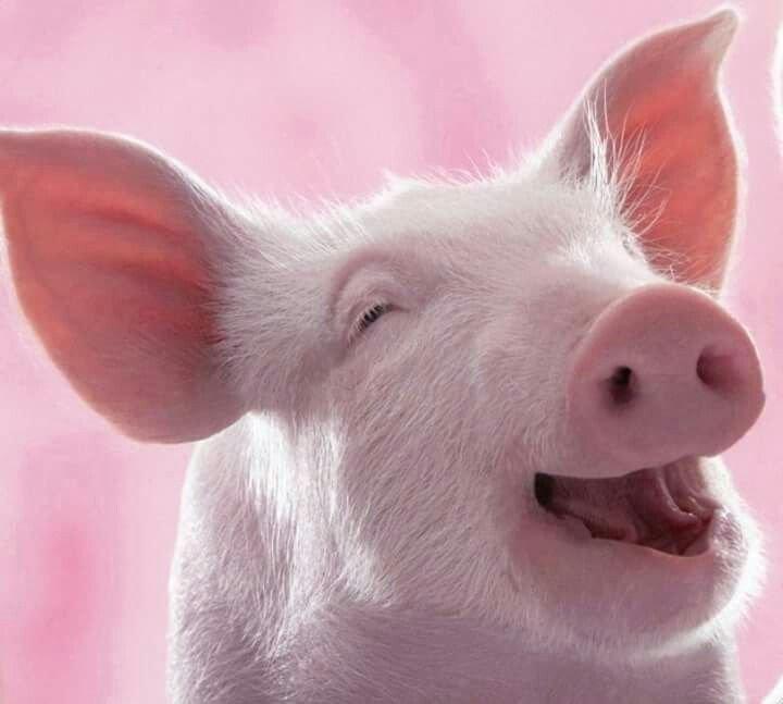 Свинья прикольная картинка, готовые