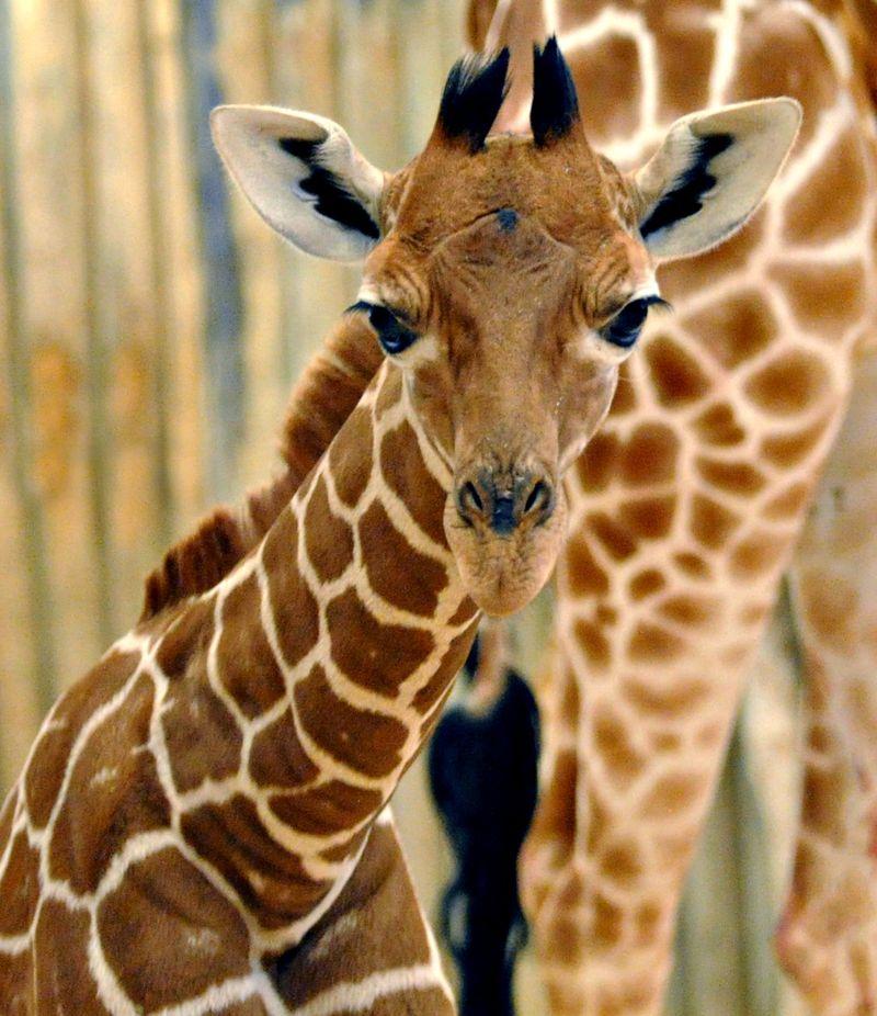 фотки и картинки жирафа фотообоев