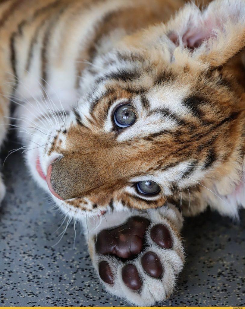 Смешные тигрята картинки