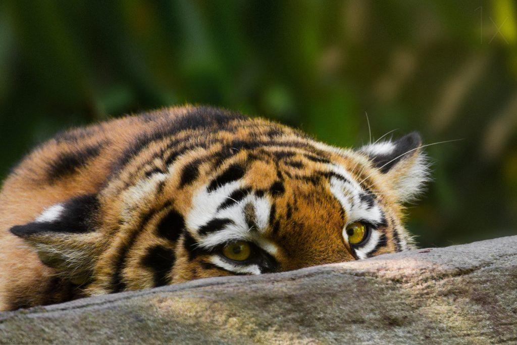 Картинки тигров смешных