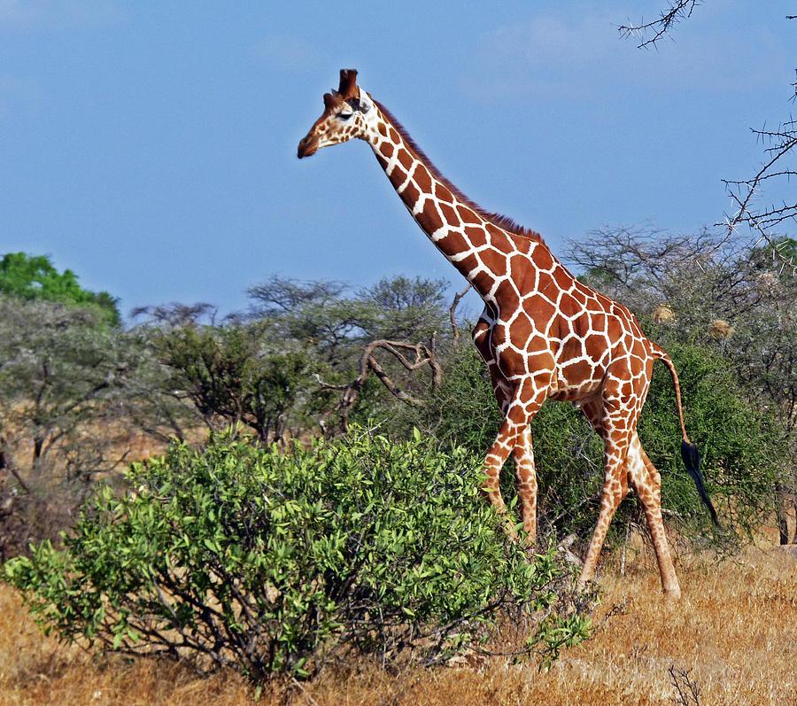 все картинки про жирафа состав
