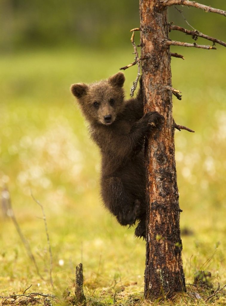 Медвежата картинки и фото
