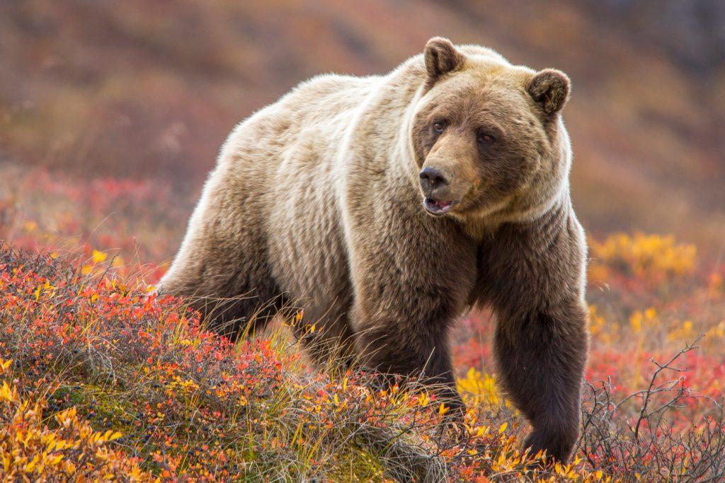 поставлю рабочий фото север медведя бурый что многим