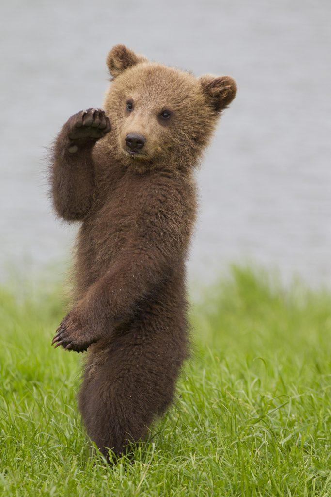 Милые картинки медвежат