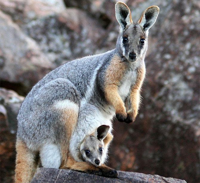 картинка с кенгуру с малышом и мамой очень сексуальная блондинка