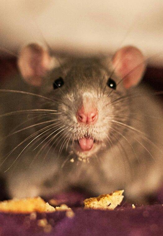 Крысы картинки красивые