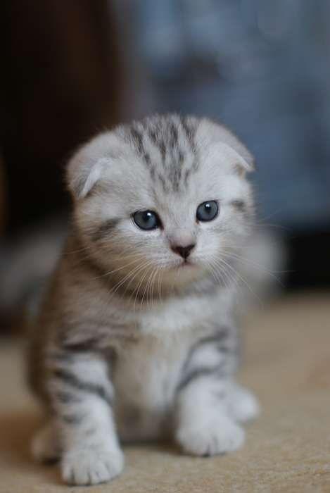Милые шотландские вислоухие коты и котята (100 фото)