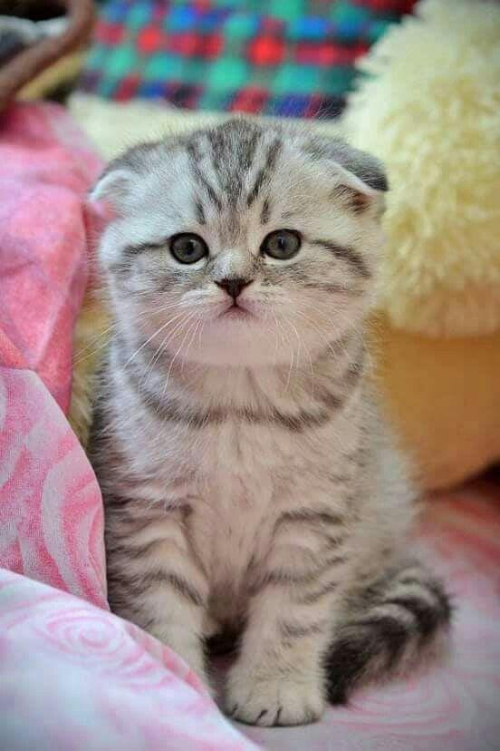 картинки вислоухих котят смотреть такое ковролин, какие